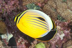 BD-100922-St-Johns-2018-Chaetodon-austriacus.-Rüppell.-1836-[Blacktail-butterflyfish].jpg